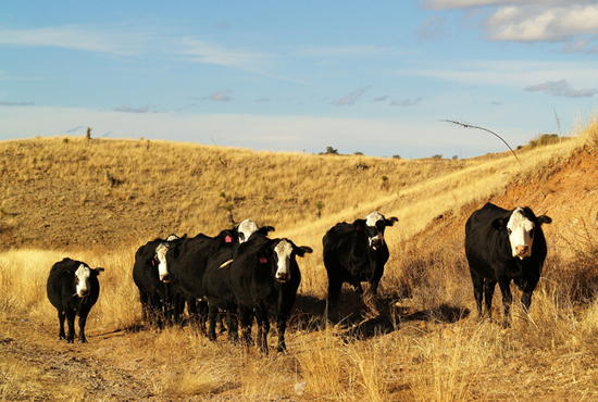 Australian cattle eat mostly pasture, reducing their environmental impact.
