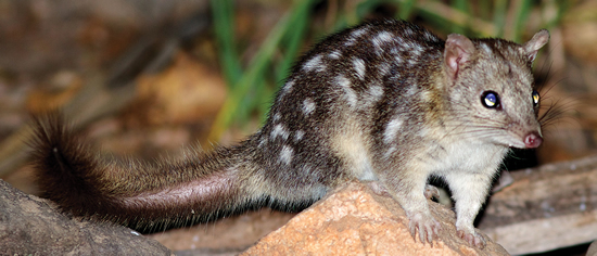 Endangered Northern Quoll